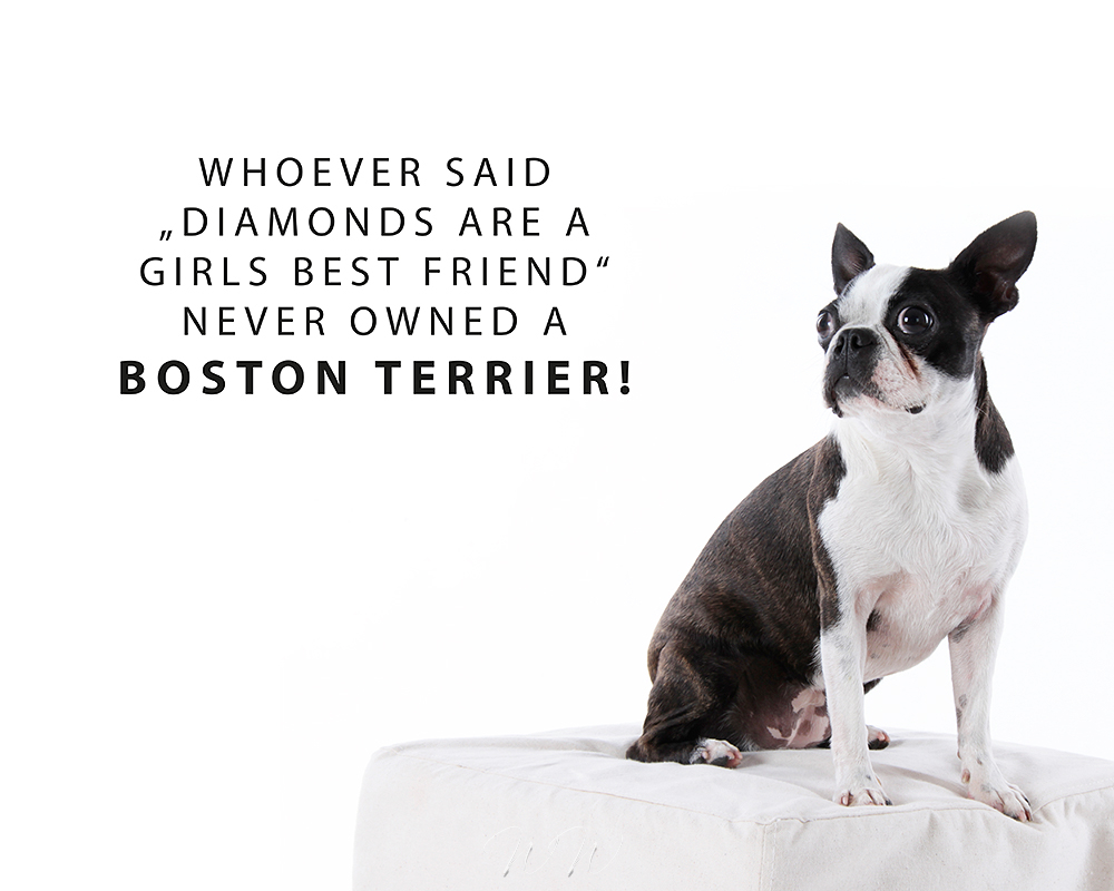 Wandtattoo Boston Terrier girls best friend